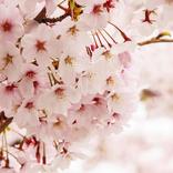 お花見の由来は?花見弁当や花見菓子のおすすめは?関東と関西の桜餅の違いは?