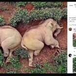 農村に侵入した象、民家の醸造酒を飲んで泥酔し茶畑で爆睡か(中国)
