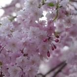【3月28日は何の日…!?】やっぱり桜が好き!ホテル「アンダーズ東京」が「さくらアフタヌーンティー」を開始!!