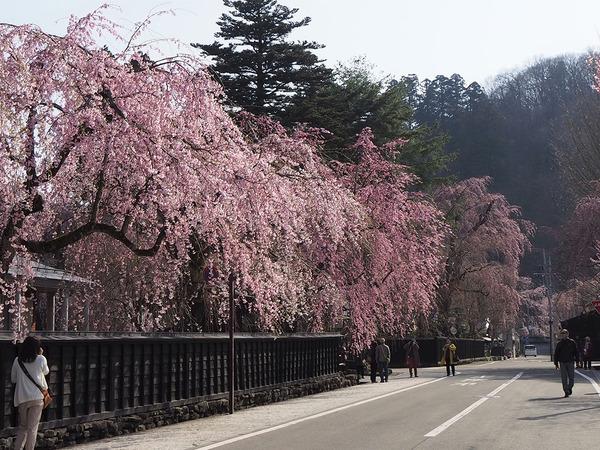 桜の町「角館」2カ所の桜絶景ポイント
