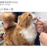 「ちゅ~る」の効果は絶大! お尻の毛を刈られていることに全く気づかない猫に大反響