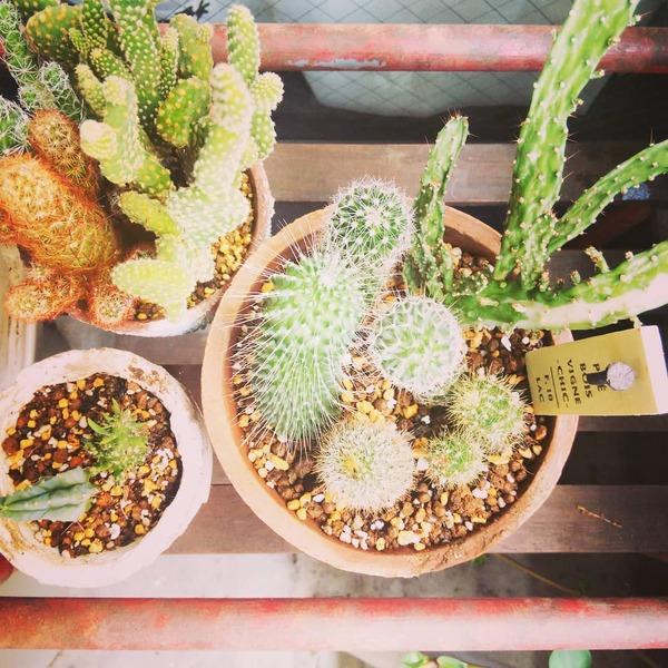 育てやすいサボテンの寄せ植え
