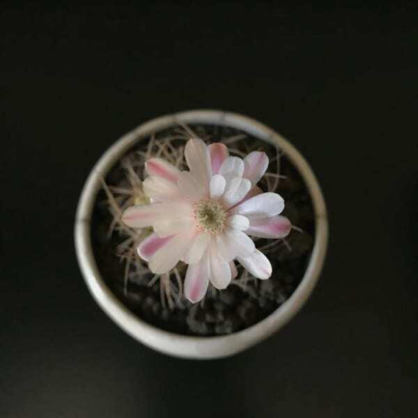 美しい花が咲くサボテン