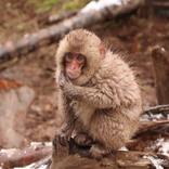 <現地ルポ>地獄谷野猿公苑は猿達のパラダイス!人間のような表情に親近感