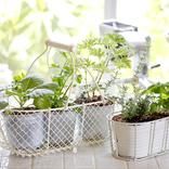 植木おじさんに聞く【3】可愛い、食べておいしい!キッチンやベランダで育てやすいハーブ5つ