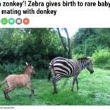 脚だけ縞模様 シマウマとロバの子「ゾンキー」が発見される(ケニア)