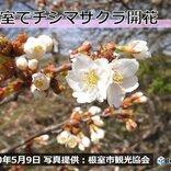 北海道 根室でチシマザクラが開花