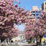 北海道 桜前線ゴール後も眼福のサクラあり