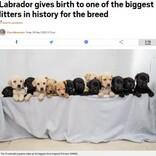 14匹の赤ちゃんが誕生したラブラドール・レトリバー イギリスの国内記録まであと1匹