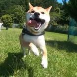 無性に走りたくなってしまうほどの全力疾走、2ヶ月ドッグランを自粛した柴犬の躍動感がすごい!