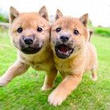 柴犬の仔犬たちが顔を寄せ合って走った結果→「オルトロス召喚」「見事な二人三脚ですね」