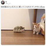 マンチカンの子猫とハリネズミが初対面! 反応がTwitterで大人気「どっちも可愛いたまらん」