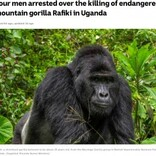 国立公園で人気者のマウンテンゴリラが殺害 密猟者4人を逮捕(ウガンダ)