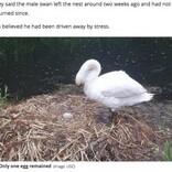少年らに卵を潰された白鳥、傷心のあまり巣の中で息絶える(英)
