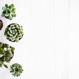 植木おじさんに聞く【6】癒しのインテリア、お手入れラクラク可愛い多肉植物。運気アップ効果も!?