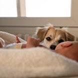 飼い主のいぬ間に… 嫉妬に狂った愛犬が生後26日の双子を噛み殺す