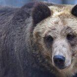旭山動物園で人気のエゾヒグマ・とんこ 「なぜ動物園にいるの」との掲示が話題
