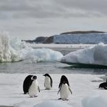 温暖化で南極の海氷が減った結果、すくすく育ったペンギンがいる模様