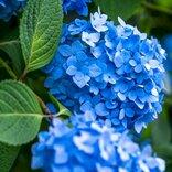 お寺の花といえば紫陽花なのに葬儀や仏事の供花に相応しくないのはどうして?