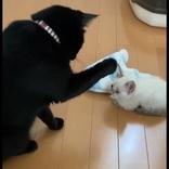 触りたいけど…触れニャイ… 新入り子猫が気になる黒猫先輩、戸惑いながらも優しい仕草をみせる