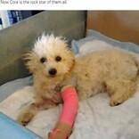 前足を骨折し捨てられたプードル、保護され後ろ足で歩くことを覚えて元気いっぱいに(米)<動画あり>