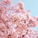 Rin音「Cherry Blossom」は春の陽気に溶け込む愛すべき日常を届ける