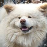 青森県がわさおに『犬民栄誉賞』を授与 「たくさんの笑顔と癒しを与えてくれた」