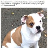 ブルドッグの子犬、2台のソファーや衣類を引き裂く「とても良い子だったのに突然野生児に」(英)
