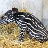 絶滅危惧種「マレーバク」赤ちゃん公開、名前も募集。静岡・日本平動物園
