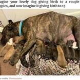保護した野良犬、居間で15匹の子犬を産む 分娩は11時間(米)<動画あり>