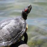 静岡県で『珍しい亀』発見 「世界に1匹だけ」