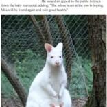 アルビノのカンガルーの赤ちゃんが行方不明に 盗まれた可能性も(独)