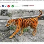 トラのように染められた犬に「これは虐待」怒りの声が殺到(マレーシア)