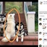 集合写真でいつも1頭だけ和を乱す柴犬 「あの子は女優なの」と飼い主(香港)
