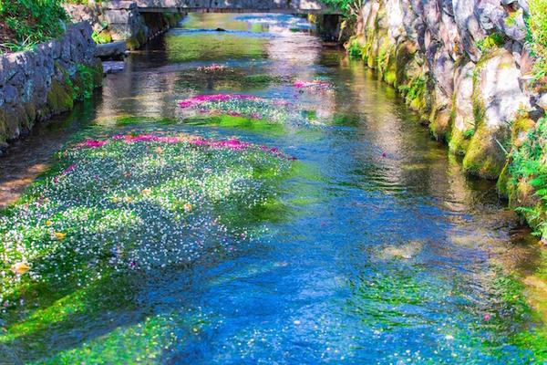 地蔵川の梅花藻1