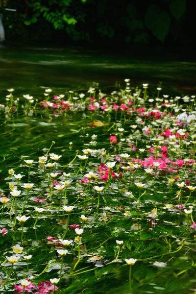 地蔵川の梅花藻3