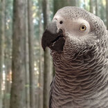 動物公園で公開中止になった『ヨウム』 その理由が、笑っちゃいけないけど笑える