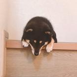 階段の上でうなだれる柴犬… 多くの人を悶絶させた理由が、コチラ