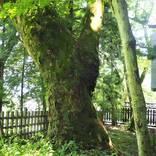 1本の木に会いに行く(19)太古の森の息吹「諏訪大社」上社前宮のケヤキ<長野県>