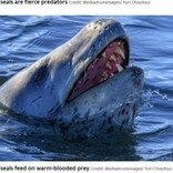 ペンギンの首を引きちぎって襲うヒョウアザラシ 南極で捉えた衝撃的な狩りの瞬間
