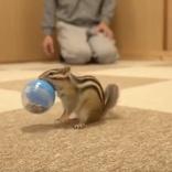 シマリス、ついに投げたボールを持って帰ってくる 遊びながらの訓練で1年、リスを超越した進化をみせる