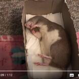 眠くて仕方がないネズミを起こすには食欲を刺激するのが正解 「どんだけ眠いんだろう」「寝ながら食べてるし」
