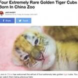 非常に珍しい黄金の虎「ゴールデンタビータイガー」の四つ子が誕生(中国)