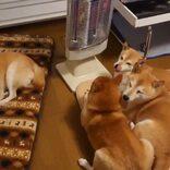 柴犬たちがついていないストーブ前に集まった結果→「おしくらまんじゅうで温める作戦かも?!」「つけて~と抗議してるよう」