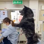 【デカっ】まだ1歳の秋田犬にツイッター騒然! その大きさに「熊?」「二度見した」「中に人が?」と驚きの声