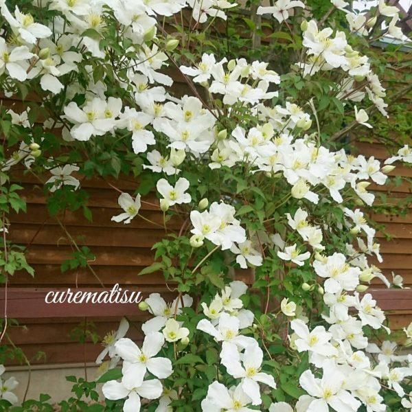 清楚な花がおしゅれなモッコウバラ