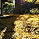 """1本の木に会いに行く(21)三渓園・茶室""""春草廬""""とイチョウの木<神奈川県>"""