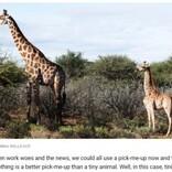 """世界初か """"小人症""""のキリンがウガンダとナミビアで発見される"""