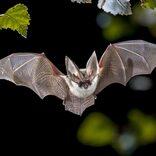 エボラ出血熱や新型コロナ並みの致死率と感染力 コウモリ由来の新感染症が発生