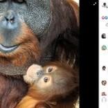 急死したメスに代わり子育てするオス オランウータンでは「珍しい」と動物園(米)